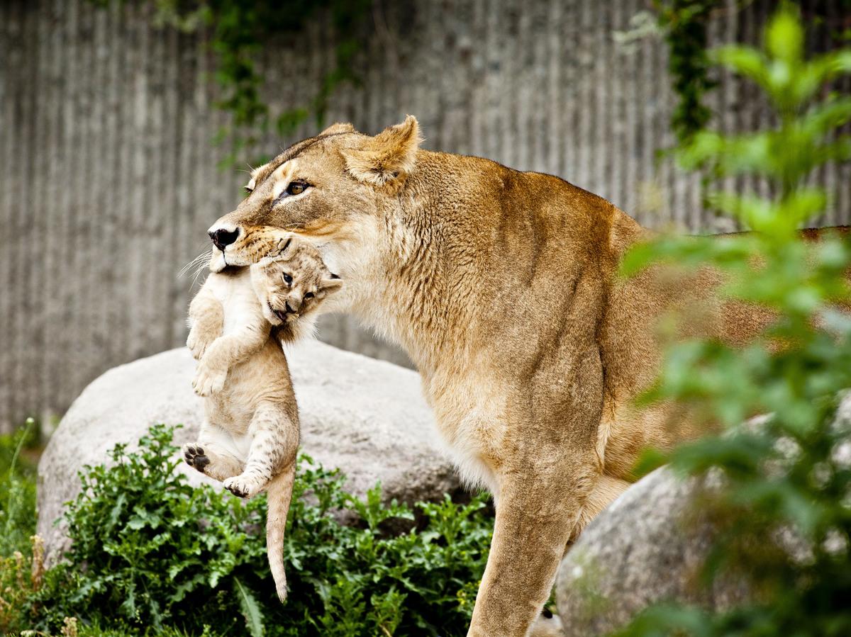 Why Do European Zoos Kill Healthy Animals 137 Cosmos