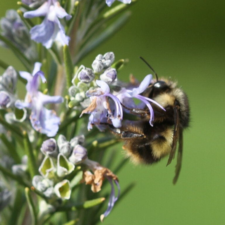 Bees Added To US Endangered Species List For 1st Time The Two
