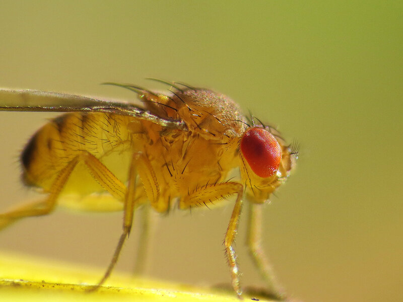 Sleep Drive\u0027 Circuits In Flies\u0027 Brains Turn On Zzzs  Shots - Health