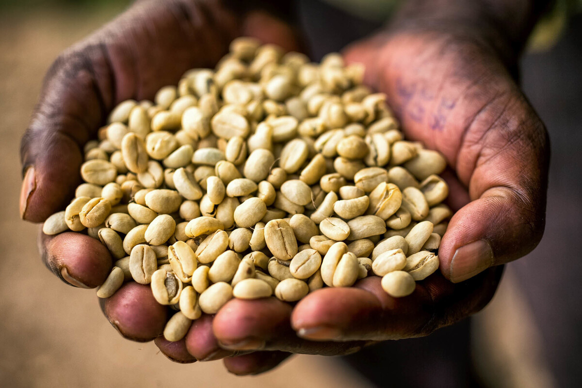 Coffee Arabica News Ethiopia 39s Coffee Farmers Are 39on The Front Lines Of