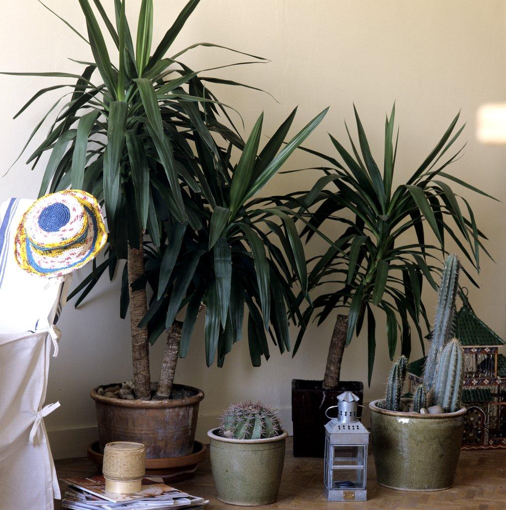 plante d 39 int rieur a grosse feuille eucalyptus. Black Bedroom Furniture Sets. Home Design Ideas