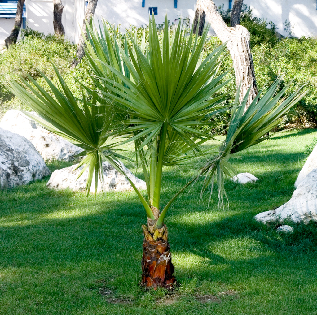 Replanter Un Palmier D'intérieur Washingtonia Planter Et Entretenir Ooreka