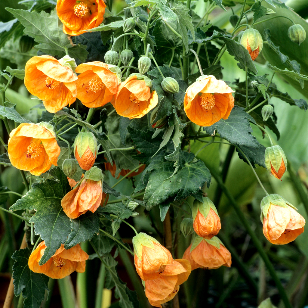 Plante D'interieur Orange Abutilon Planter Et Cultiver Ooreka