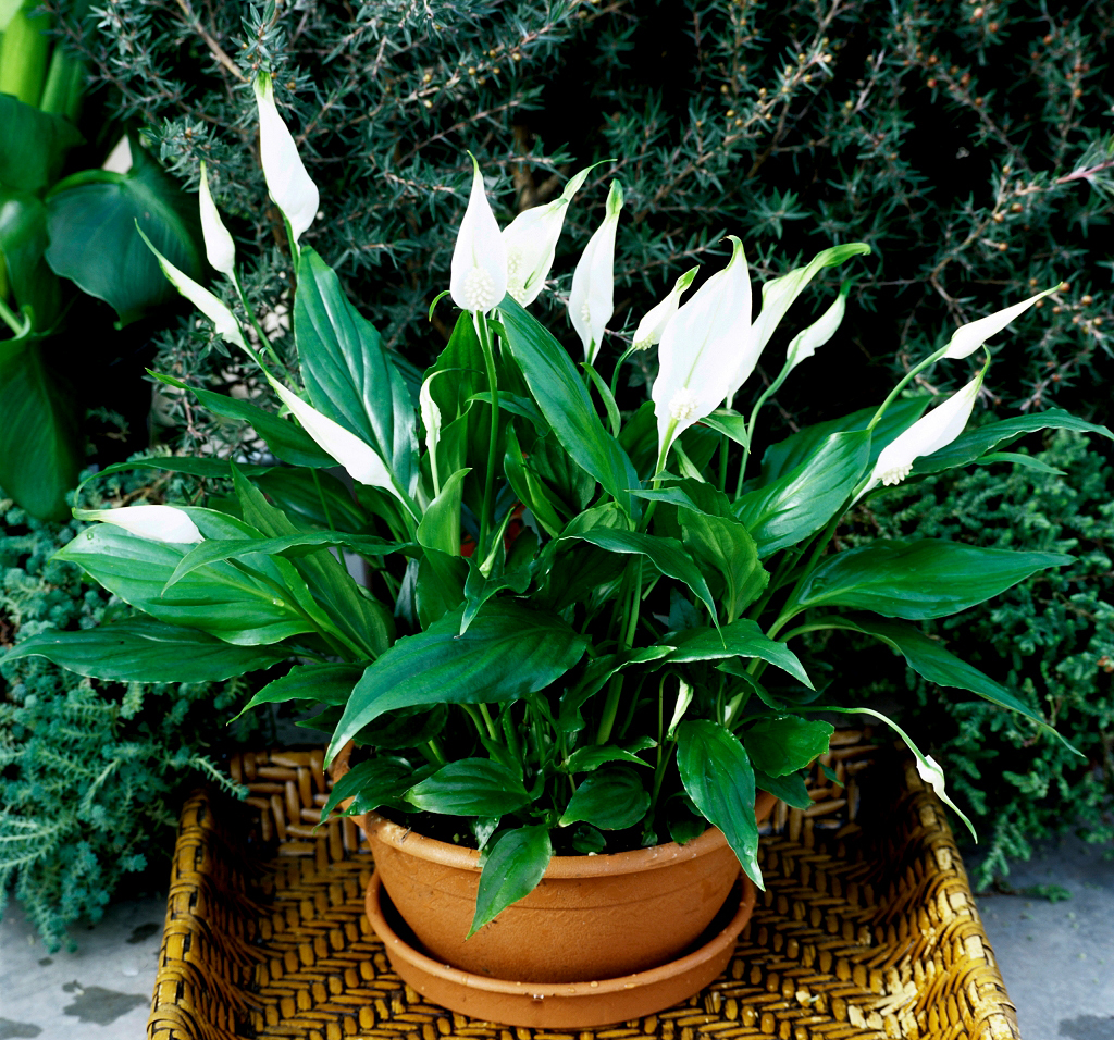 Plante Anti Humidité Spathiphyllum Cultiver Et Rempoter Ooreka