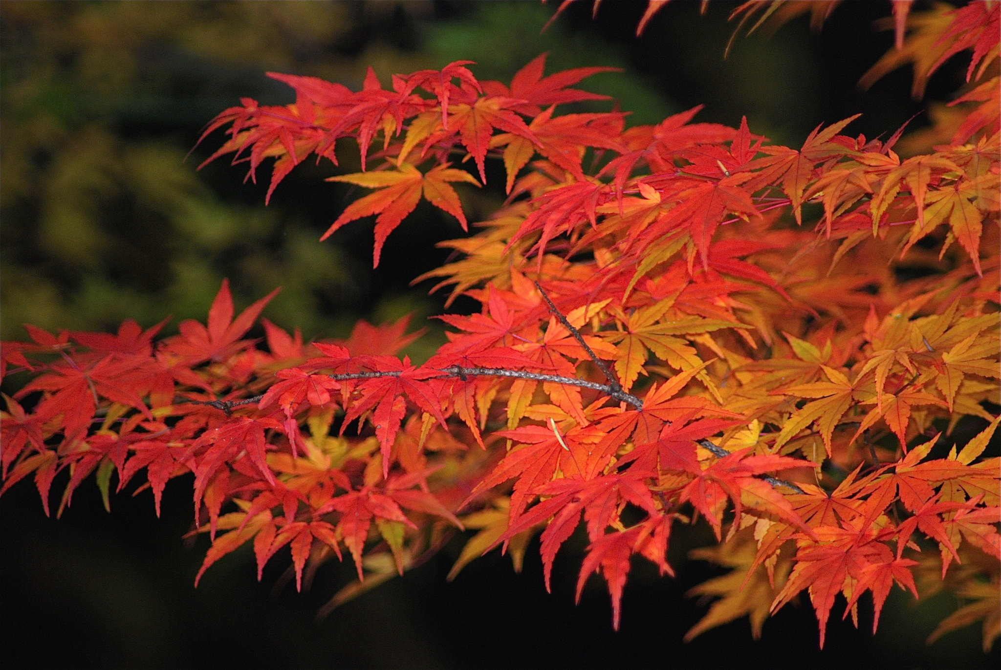 Maple Leaf Wallpaper For Fall Season The Autumn Leaf Color Season In The Pacific Northwest May