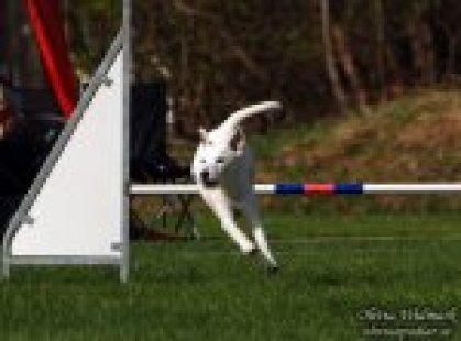 Jokkmokk 2011-11-12-13 Uppflyttad till agilityklass 2Cert i hoppklass 3Arctic Paws Jack Frost