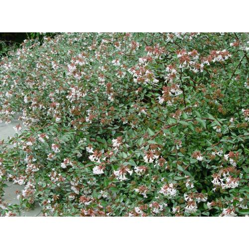 Medium Crop Of Rose Creek Abelia
