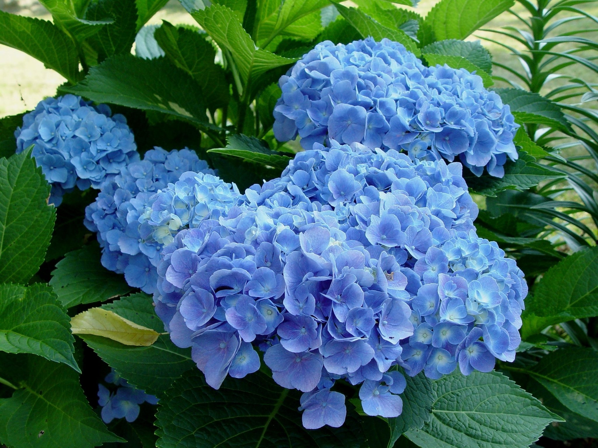 Hydrangea Didn't Flower This Year The Year The Hydrangeas Didn't Bloom: George Weigel