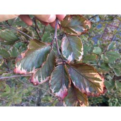 Small Crop Of Tri Color Beech