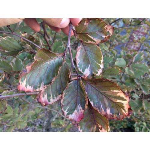 Medium Crop Of Tri Color Beech