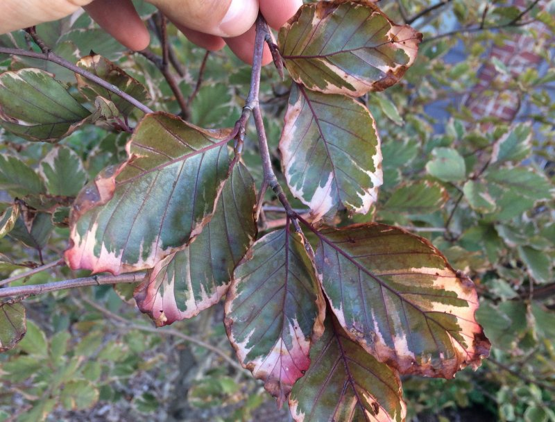 Large Of Tri Color Beech