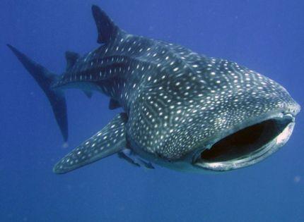 213 best Chondrichthyes-Sharkes, skates and rays images on - marine biologist job description
