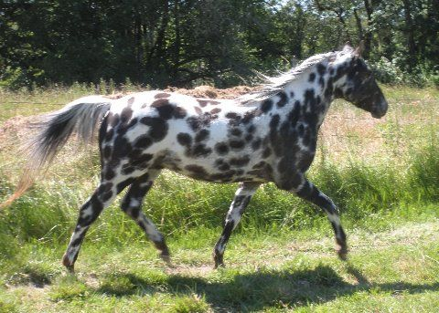 1313 best Spotted Horses! images on Pinterest Appaloosa - free horse bill of sale