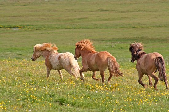 149 best Icelandic Newfoundland POA Kerry Bog Caspian  more ponies - Horse Sales Contracts