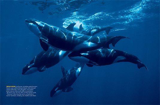 677 best Orcas images on Pinterest Black, Natural wood and Nature - marine biologist job description