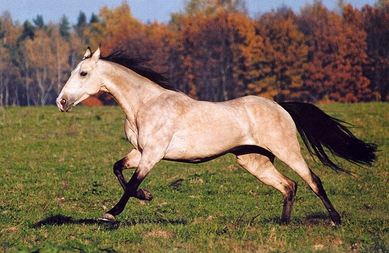 719 best Akhal Teke images on Pinterest Akhal teke horses - free horse bill of sale
