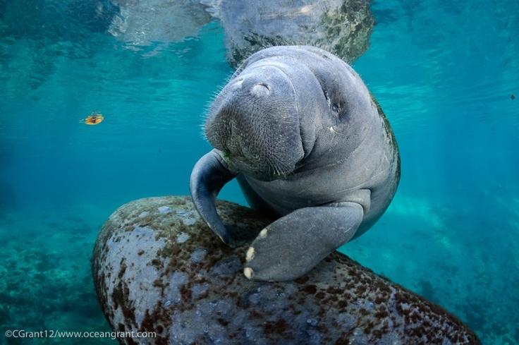 121 best Manatees and Dugongs images on Pinterest Beautiful - marine biologist job description
