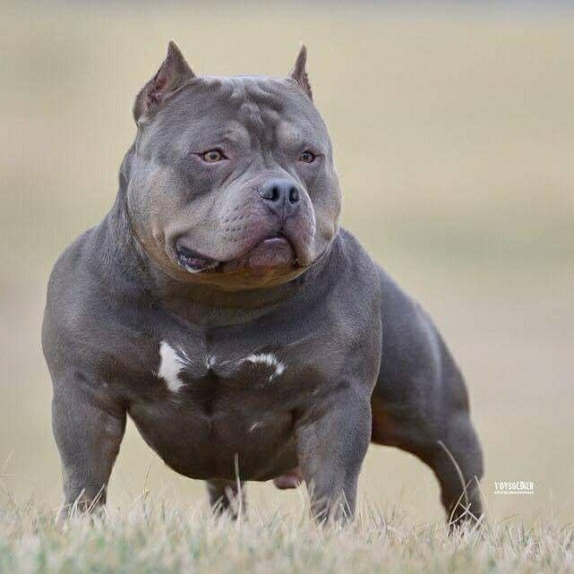 1216 best The American Bully Board images on Pinterest American - pet poster