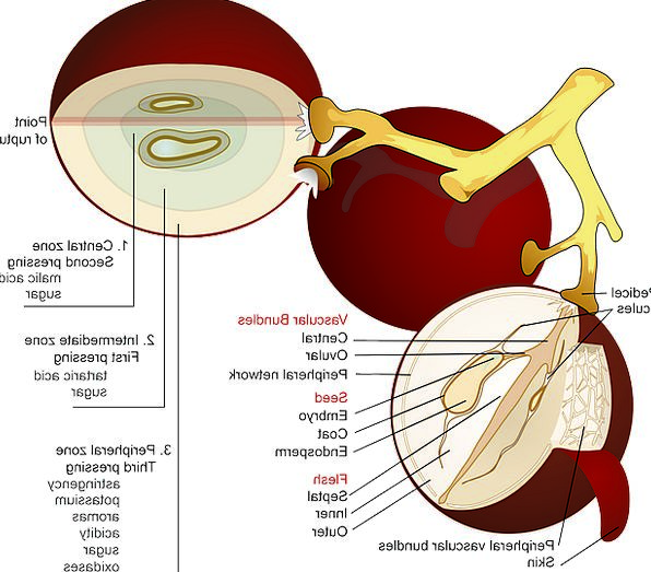 Grape, Drink, Ovary, Food, Diagram, Drawing, Fruit, Crosssection
