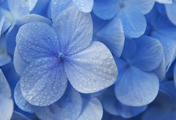 Hydrangeas, Floret, Blue, Azure, Flower, Madagascar, Blue Flowers