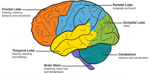 Parts Of The Brain Quiz - ProProfs Quiz