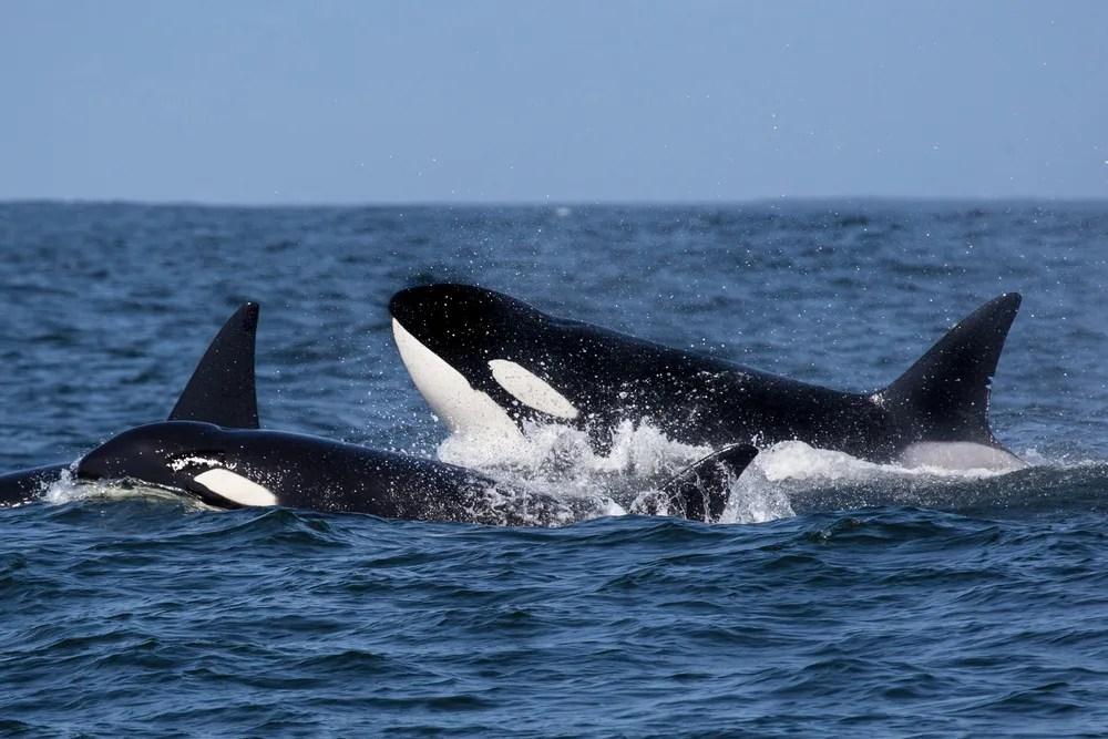 Cute Orca Wallpaper Wild Orcas May Not Survive Climate Change Salon Com