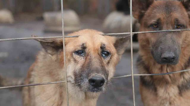 165 German Shepherds Rescued From 39extremely Unsanitary
