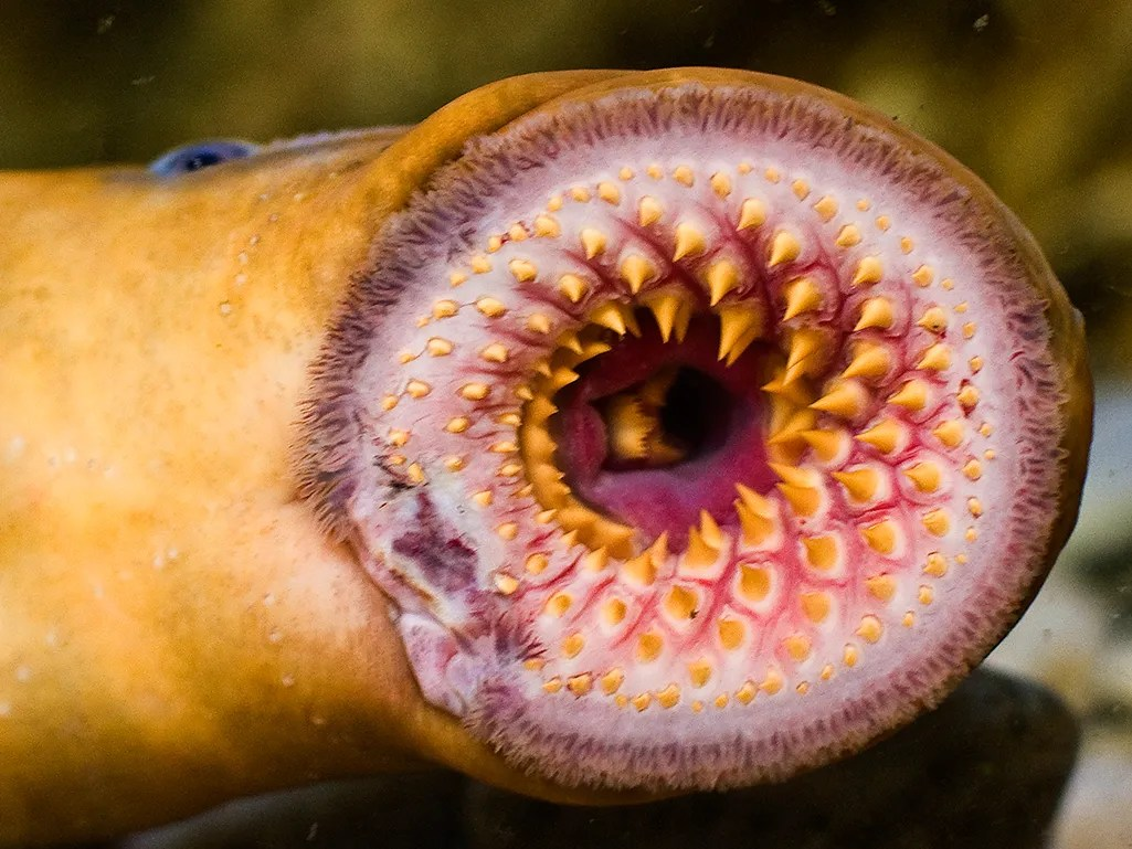 Sea Lamprey Bite Absurd Creature Of The Week The Aquatic Menace That Gives The