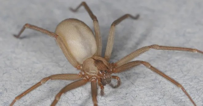 Why You Need Not Fear the Poor, Misunderstood Brown Recluse Spider