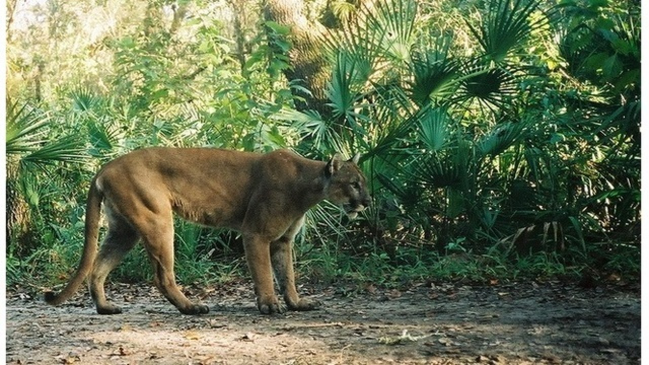2 Endangered Florida Panther Kittens Struck And Killed By