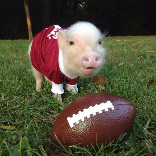 Cute Piggies Wallpaper Animals Playing Football Is What You Need To See Before