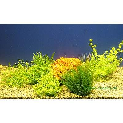 14126 1 Aquarium   Aquariumplanten 