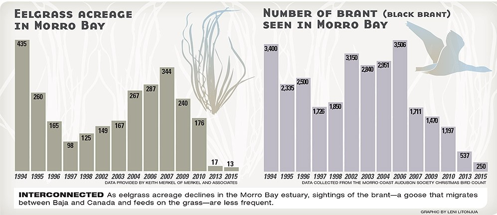 Between land and sea Morro Bay\u0027s eelgrass population needs help
