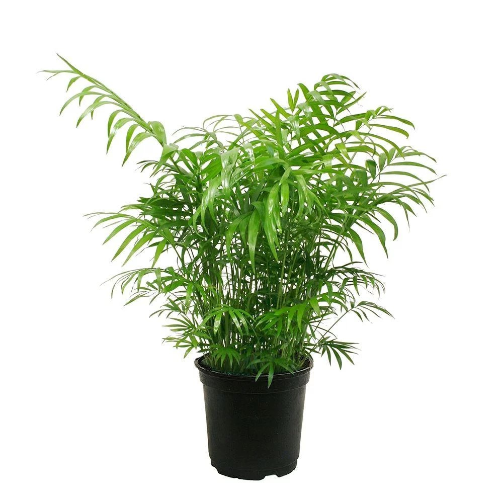 Home Depot Palm Trees Neanthebella Palm Best Trees And Plants From Home Depot