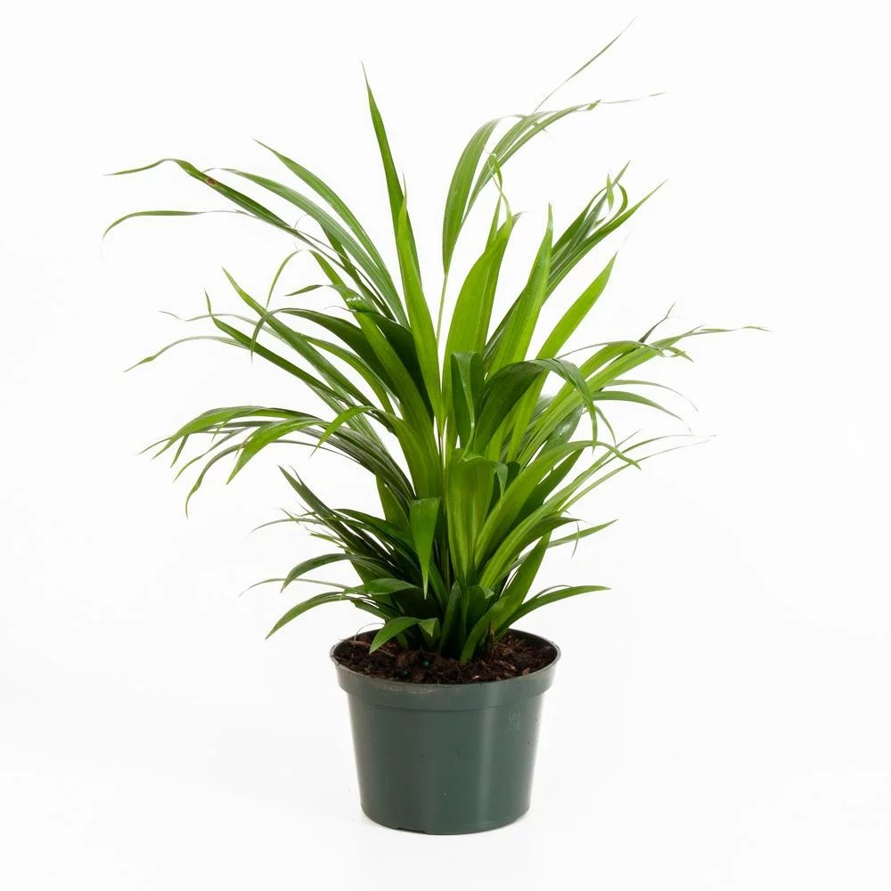 Home Depot Palm Trees Areca Palm Best Trees And Plants From Home Depot Popsugar Home