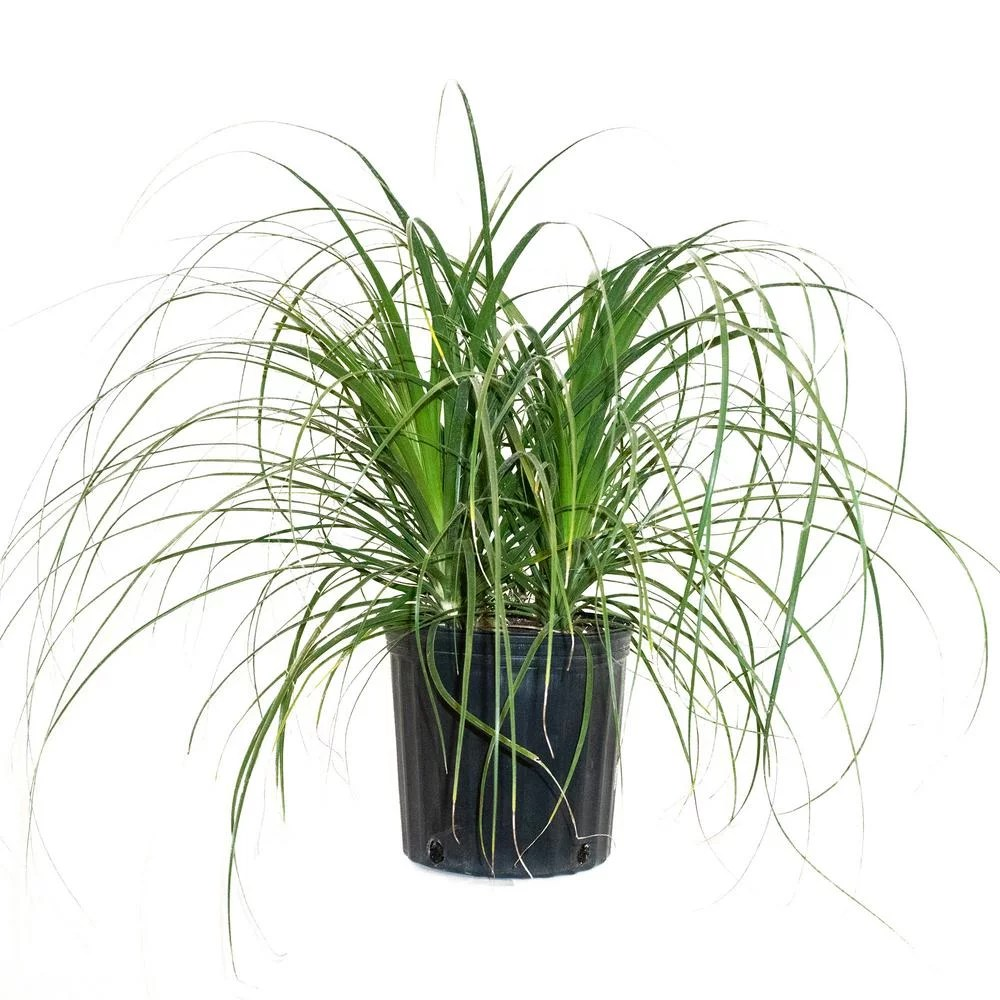 Home Depot Palm Trees Ponytail Palm In Bush Form Best Trees And Plants From Home Depot