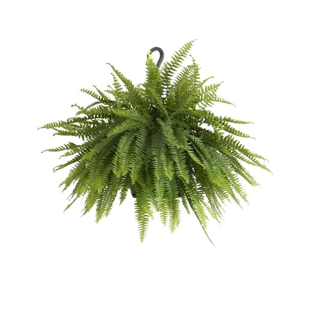 Home Depot Palm Trees Boston Fern Plant Best Trees And Plants From Home Depot