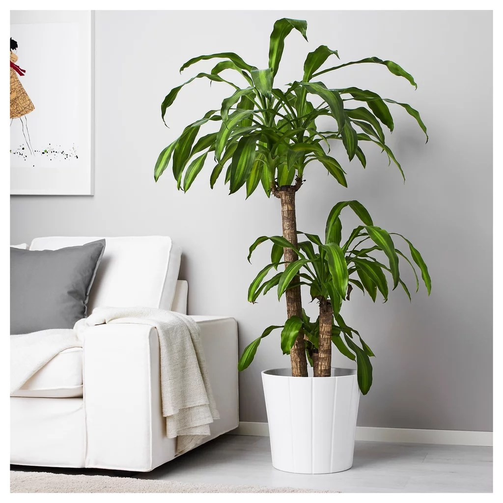 Ikea Palm Tree Dracaena Massangeana Potted Plant Ikea Plants And Pots 2019