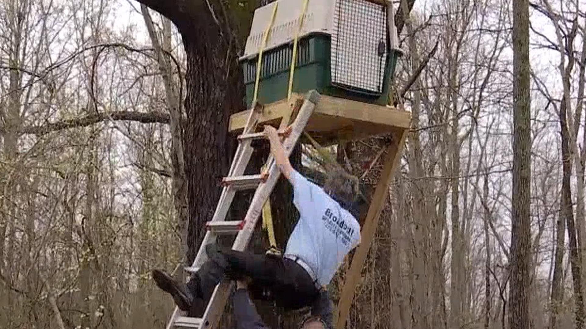 Good Catch Worker Falls Off Ladder Releasing Bald Eagle