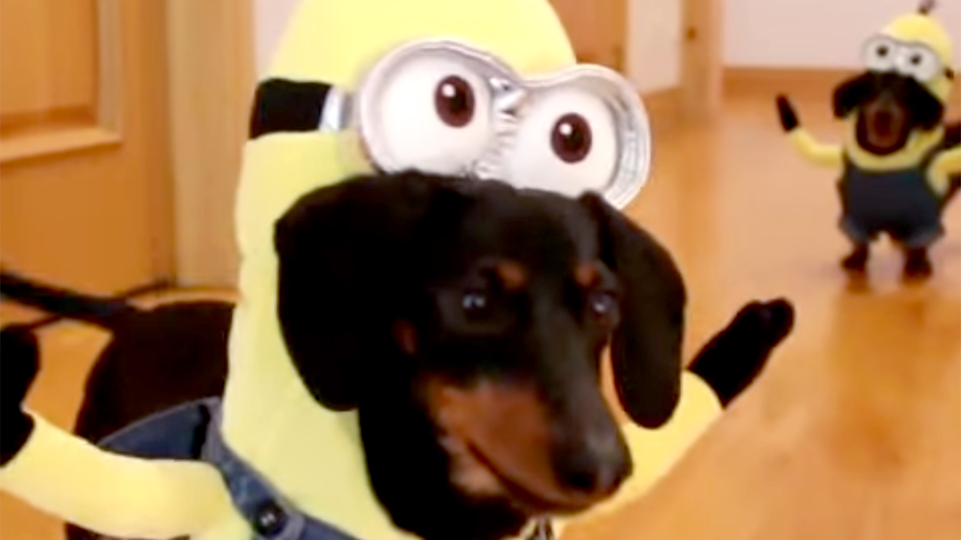 Cute Wallpaper Of Minions Dachshunds Dress As Minions From Despicable Me Franchise