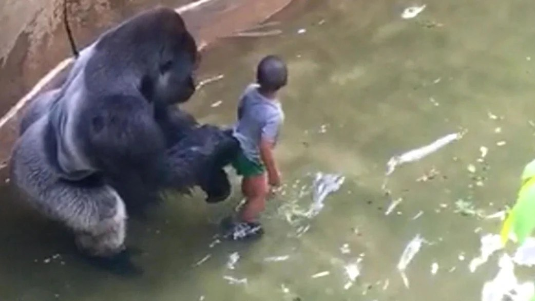 Fall Be Kind Wallpaper Giant Gorilla Is Killed After Boy Slips Into Zoo Enclosure