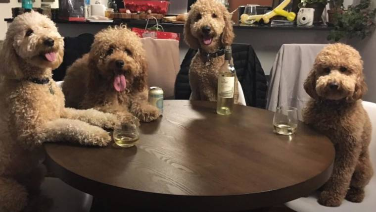 Lucky Star Cute Wallpaper These Goldendoodles Are Best Friends And Lucky For Us