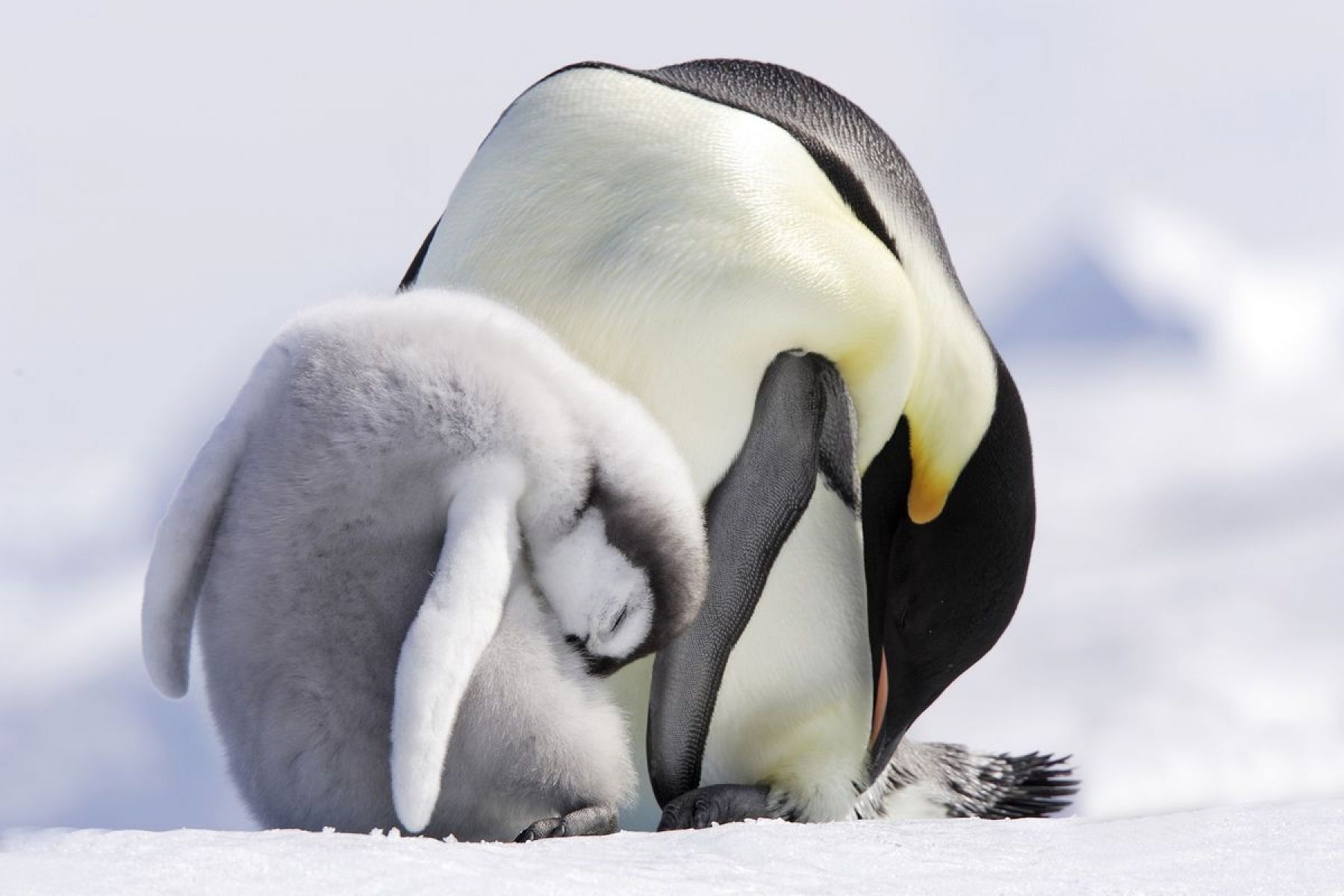 Cadre Plexiglas Adult And Young Baby, Emperor Penguin, Antarctic