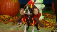 Hot Dog Costume Pug - Hot Girls Wallpaper