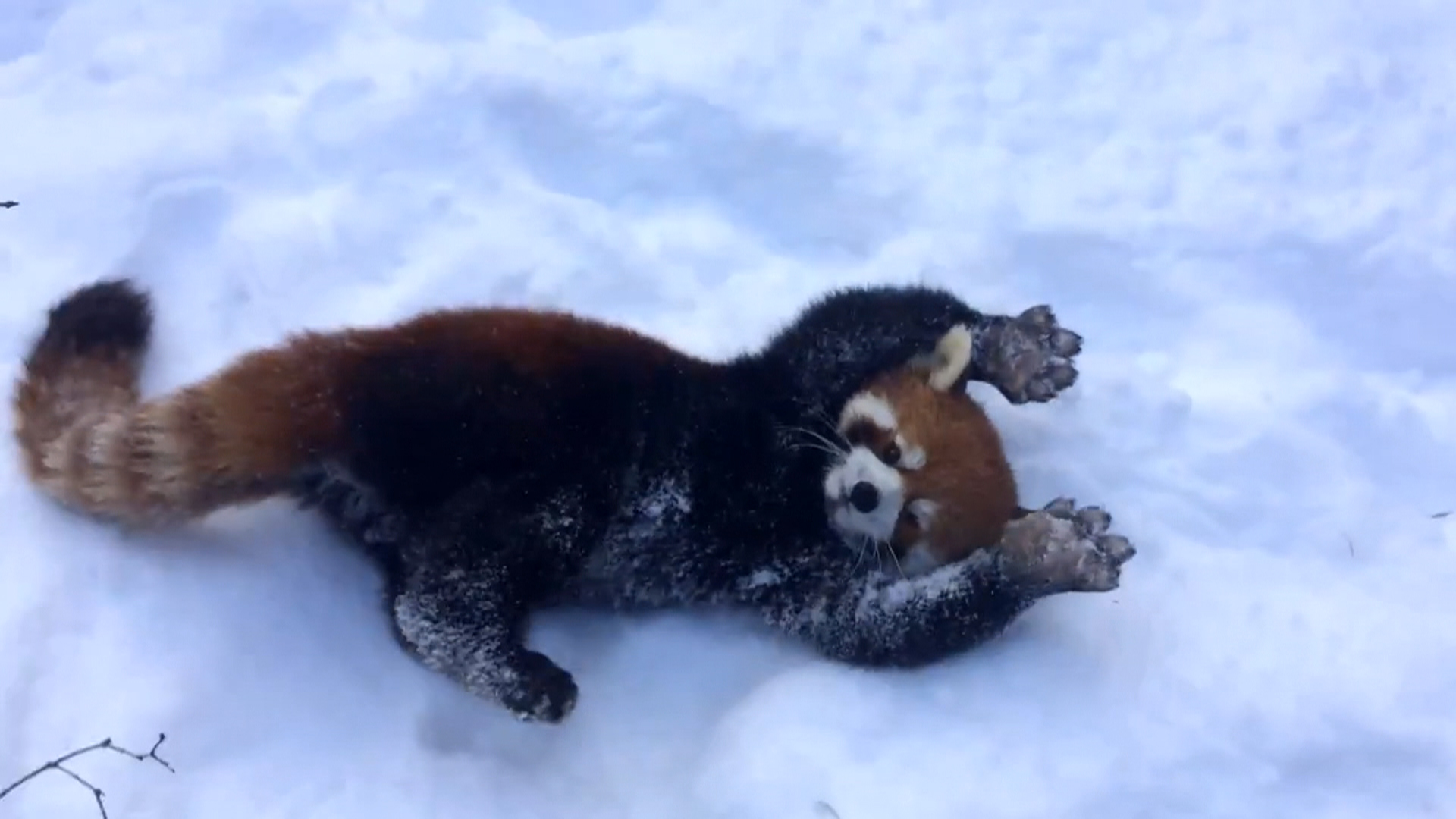 Cute Baby Girl Live Wallpaper Red Pandas Playing In The Snow Is Your Daily Dose Of Cute