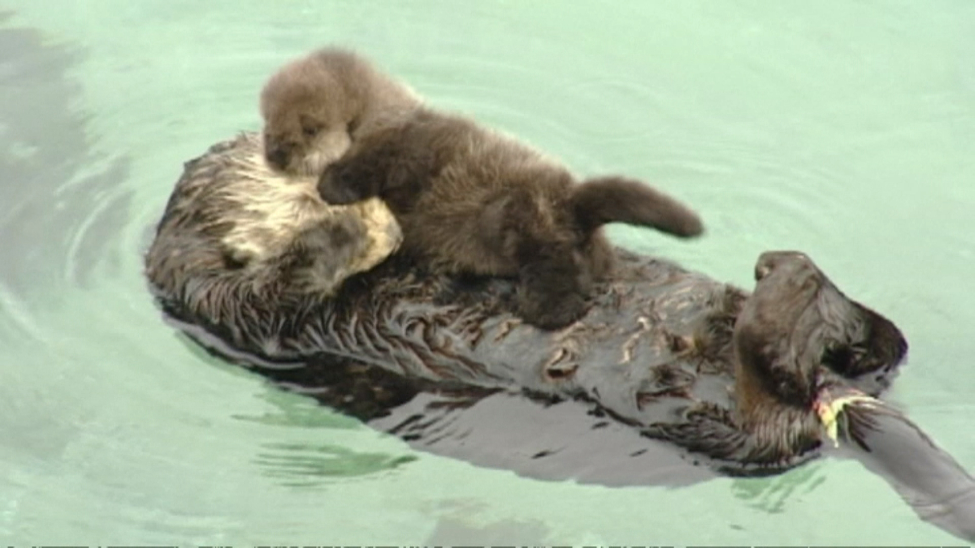 Cute Otter Wallpaper You Otter Get A Look At This Cute Baby Otter