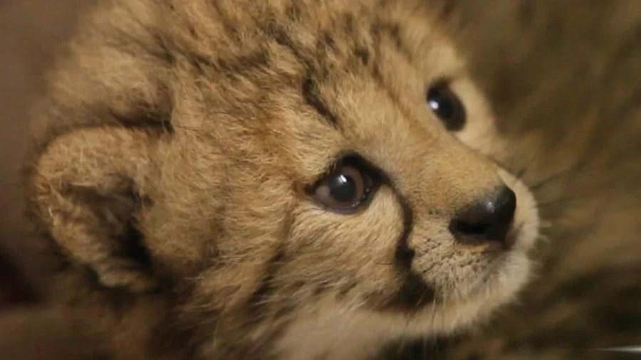 Cute Baby Cheetah Cubs Wallpaper Help Name A Very Rare And Very Cute Cheetah Cub Today Com