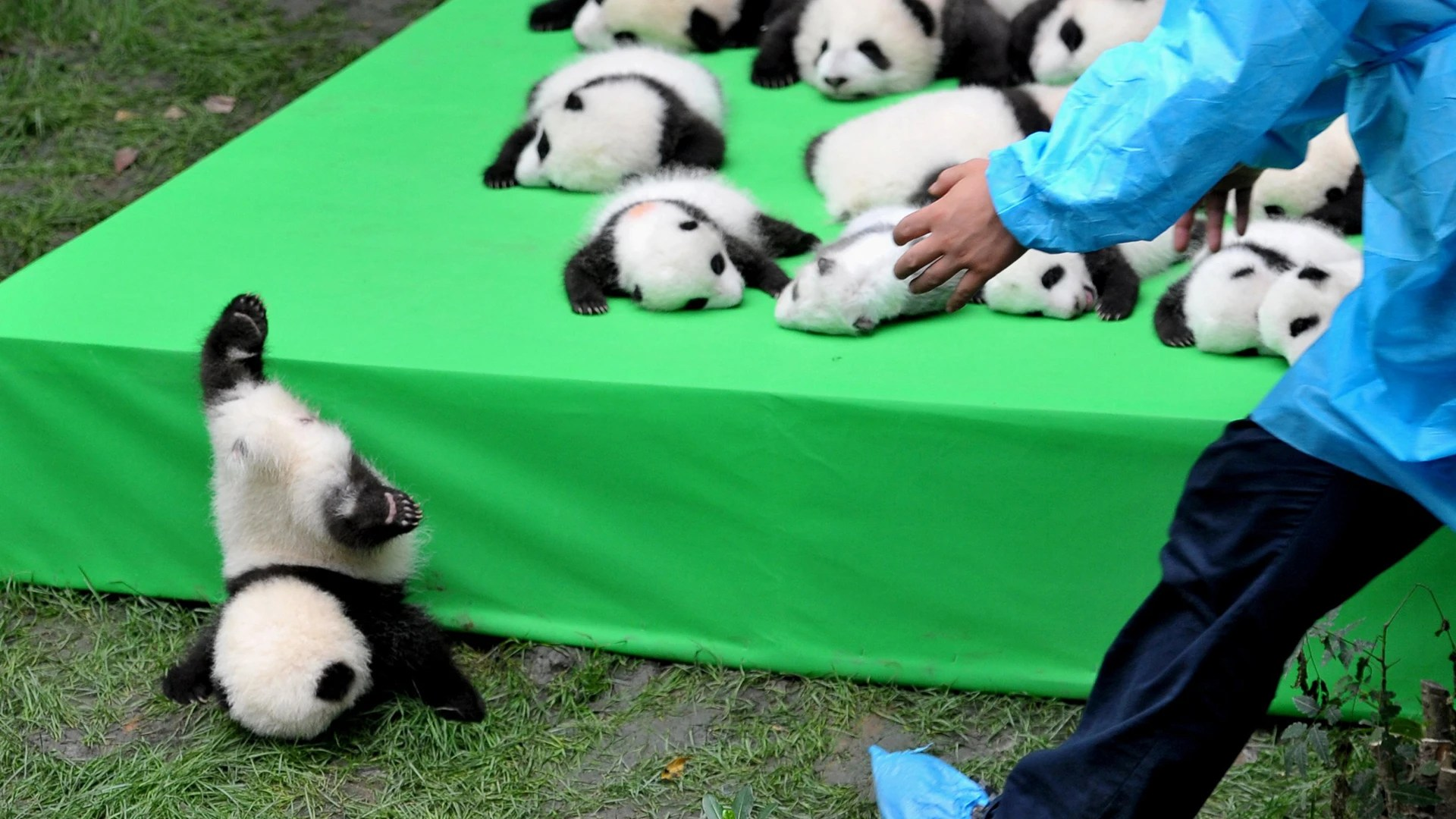 Free Fall Pictures Desktop Wallpaper Falling Panda And More In This Week S Best Animal Pictures