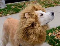A Lion | 15 of the Best DIY Halloween Dog Costumes Out ...