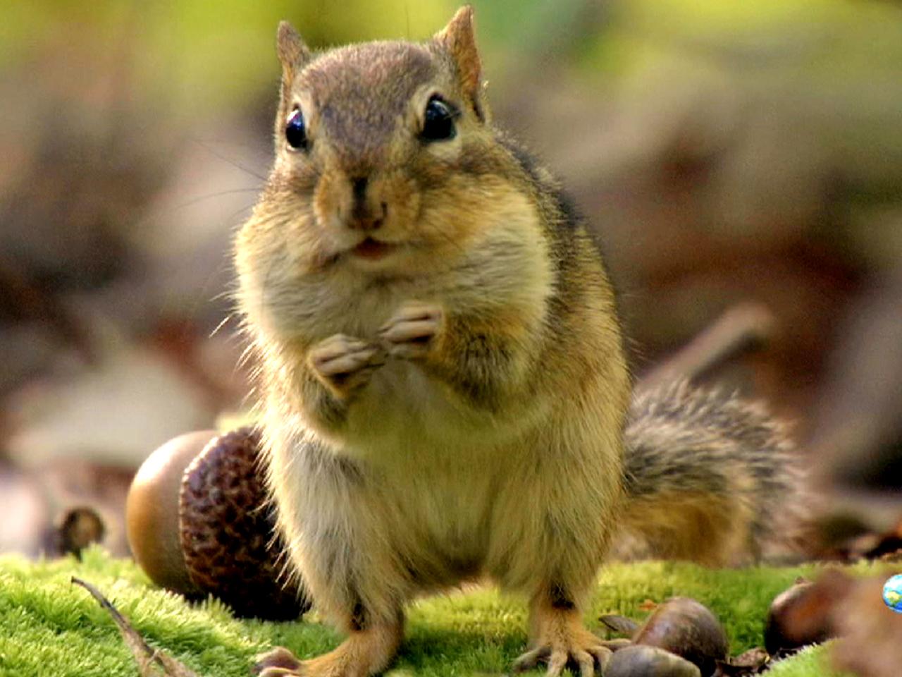 Bing Animated Wallpaper Hi Yah Chipmunks Battle For Acorns On North America